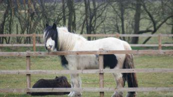 Guard_pony